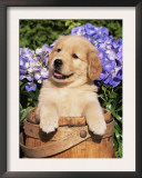 Golden Retriever Puppy in Bucket (Canis Familiaris) Illinois, USA Poster by Lynn M. Stone