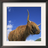 Domesticated Highland Cow, Aberfoyle, Argyll, Scotland, UK Posters by Niall Benvie