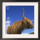 Domesticated Highland Cow, Aberfoyle, Argyll, Scotland, UK Posters by Niall Benvie