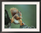 Red Squirrel Balancing on Pine Stump, Norway Print by Niall Benvie