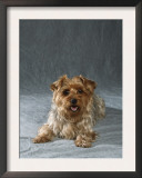 Yorkshire Terrier Posters by Petra Wegner