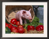 Domestic Piglet, in Bucket with Apples, Mixed Breed, USA Poster by Lynn M. Stone