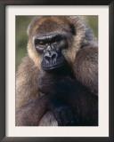 Lowland Gorilla Posters by Lynn M. Stone