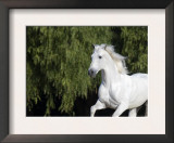 Grey Andalusian Stallion Cantering in Field, Ojai, California, USA Posters by Carol Walker