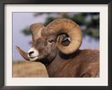 Rocky Mountain Bighorn Sheep, Ram, Jasper National Park, Alberta, USA Print by Lynn M. Stone