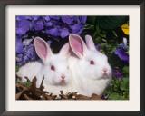Two Albino New Zealand Domestic Rabbits, USA Art by Lynn M. Stone