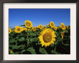 Sunflowers, Illinois, USA Poster by Lynn M. Stone