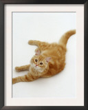 Domestic Cat, Fluffy Red Tabby Female Art by Jane Burton