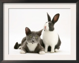 Black-And-White Dutch Rabbit with Oriental Type Cat Posters by Jane Burton