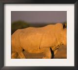 White Rhinoceros Walking, Etosha National Park, Namibia Art by Tony Heald