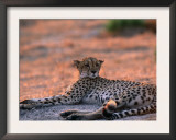 Cheetah Resting, Okavango Delta, Botswana Posters by Pete Oxford