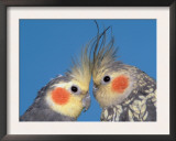 Pair of Cockatiels Prints by Petra Wegner