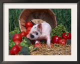 Domestic Piglet, Amongst Vegetables, USA Posters by Lynn M. Stone