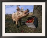 Domestic Pig, Feeding on Apples, Illinois, USA Print by Lynn M. Stone