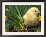 Domestic Chicken, Baby Chick, USA Prints by Lynn M. Stone