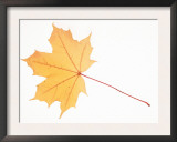 Norway Maple Leaf in Autumn Colours Posters by Petra Wegner