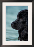 Black Newfoundland Standing in Water Prints by Adriano Bacchella