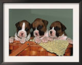 Three Boxer Puppies, USA Prints by Lynn M. Stone
