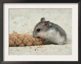 Young Dwarf Hamster Eating Millet Posters by Petra Wegner