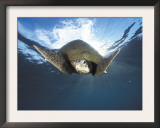 Green Turtle Swimming, Sulu-Sulawesi Seas, Indo Pacific Ocean Prints by Jurgen Freund