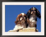 Two King Charles Cavalier Spaniel Adults on Wall Art by Adriano Bacchella