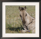 Grulla Colt Lying Down in Grass Field with Flowers, Pryor Mountains, Montana, USA Art by Carol Walker