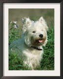 Head Portrait of West Highland White Terrier Dog Posters by Petra Wegner