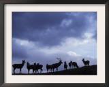 Red Deer Herd Silhouette at Dusk, Strathspey, Scotland, UK Print by Pete Cairns
