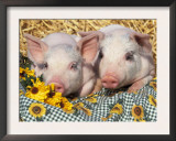 Two Domestic Piglets, Mixed-Breed Posters by Lynn M. Stone