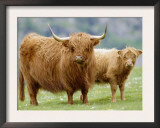 Highland Cow and Calf, Strathspey, Scotland, UK Prints by Pete Cairns