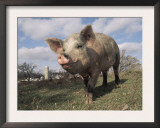Domestic Pig (Mixed Breed) USA Posters by Lynn M. Stone