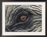 Close up of Indian Elephant Eye,(Domestic), Kaziranga National Park, Assam, India Prints by Nick Garbutt