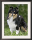 Sheltie Dog Outdoors Poster by Petra Wegner