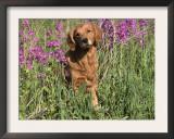 Golden Retriever Amongst Meadow Flowers, USA Prints by Lynn M. Stone
