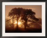 Scots Pine (Pinus Sylvestris) in Morning Mist, Glen Affric, Inverness-Shire, Scotland, UK, Europe Prints by Niall Benvie