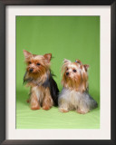 Dogs, Two Yorkshire Terriers Prints by  Reinhard