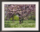 Cherry Tree, in Blossom, Regents Park, London, UK Prints by Georgette Douwma
