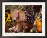 Domestic Piglets, Resting Amongst Vegetables, USA Posters by Lynn M. Stone