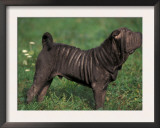 Black Shar Pei Standing in Show Stack / Pose Print by Adriano Bacchella