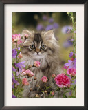 Domestic Cat, Portrait of Long Haired Tabby Persian Kitten Among Dwarf Roses and Bellflowers Art by Jane Burton