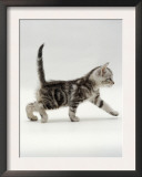 Domestic Cat, 3-Week, Silver Tabby Male Kitten Print by Jane Burton