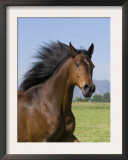 Bay Thoroughbred, Gelding, Longmont, Colorado, USA Prints by Carol Walker