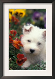 West Highland Terrier / Westie Puppy Among Flowers Print by Adriano Bacchella