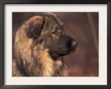 Owatcha Face Portrait (Malamute and Wolf Mix) Prints by Adriano Bacchella