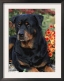 Rottweiler Dog Portrait, Illinois, USA Prints by Lynn M. Stone