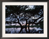 Oak Tree Silhouette at Sunset, Texas, USA Prints by Rolf Nussbaumer