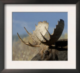 Moose (Alces Alces) Bull, Grand Teton National Park, Wyoming, USA Prints by Rolf Nussbaumer