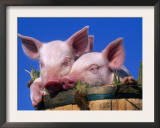 Domestic Piglets, in Bucket, USA Prints by Lynn M. Stone