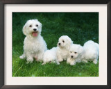 Maltese with Puppies Prints by Petra Wegner