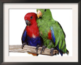 Young Eclectus Parrots, Female Left, Male Right, 12-Wks-Old Prints by Jane Burton